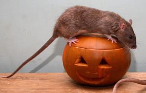 halloween season- pumpkin rat4 by NickiStock