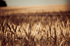 wheat field IV by torobala