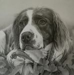 Commission - Springer Spaniel 'Ugo' by Captured-In-Pencil