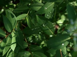 dew drops on green leaves 4 by fotophi
