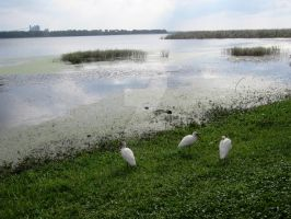 Cattle Egrets on the Lake by quickwing23