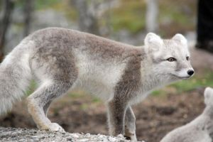 Arctic fox stock 12 by GrayeyesStock