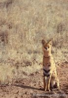 Serval Cat by ERB20