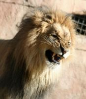 lion snarling by eldachleich