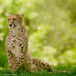 International Cheetah Day 2013 by clippercarrillo