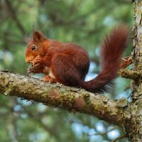Red squirrel eating by Jorapache