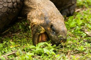 Giant Tortoise in Galapagos by photoboy1002001