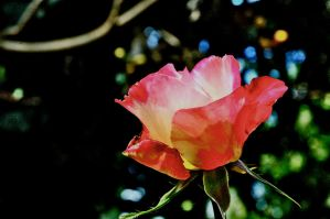 rose by giigiphotography