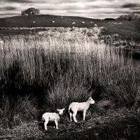 Woodhall Loch: lambs+reeds by Coigach