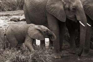 Elephants by FSGPhotography