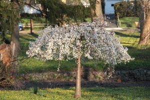 Weeping Cherry Willow by jswis