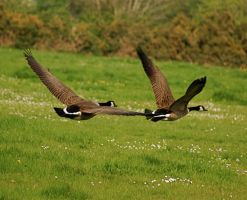 wild geese flying 2nd shot. by LubelleCreativeSpark