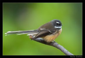 The Friendly Fantail by RoieG