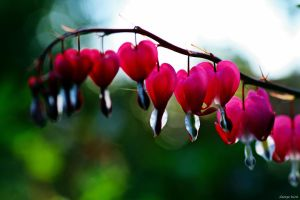 Bleeding Heart by George---Kirk