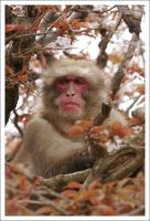 Japanese Macaque - 085 by eight-eight