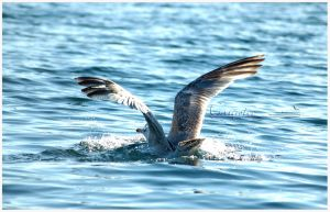 Gull 2009 6 by grugster