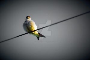 Bird On Line 5 by JLP-PHOTOGRAPHY