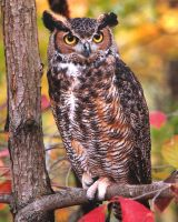Great Horned Owl by jnevitt