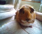 Hello Miss Guinea Pig by samanthanagel1567