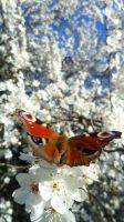 Butterfly by SP4RTI4TE