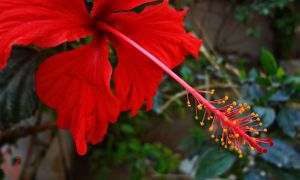 Hibiscus (5) by sheereenabba
