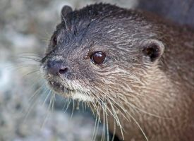 Otter by carterr