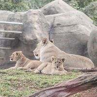 Lion Cubs 2 by tingharp
