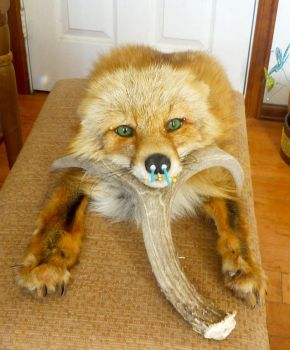 Kodiak Red wip by Tricksters-Taxidermy