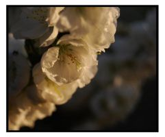 white blossom by lufeng