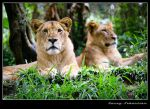 Two Lions by lessysebastian