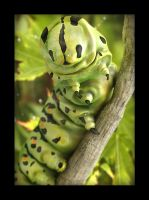 Swallowtail's caterpillar by Morxx