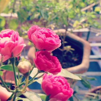 Small Rose by khemant0411