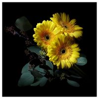 Yellow Gerberas by Lars-J-Bekker