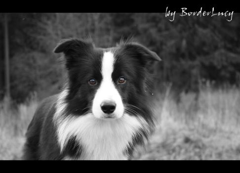 My border collie by BorderLucy
