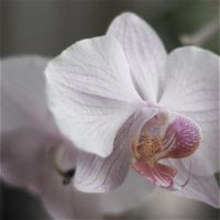 Pastel Flower - Orchid 2 by webworm