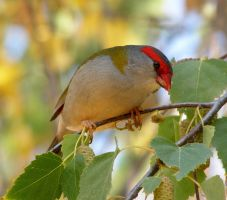 Red-browed Firetail by SirTimid