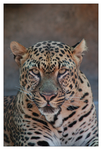 Leopard 2 by hoboinaschoolbus