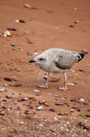 Baby Seagull at Paignton by HyperCaz
