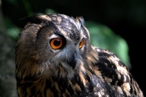 European Eagle Owl by Shadow-and-Flame-86