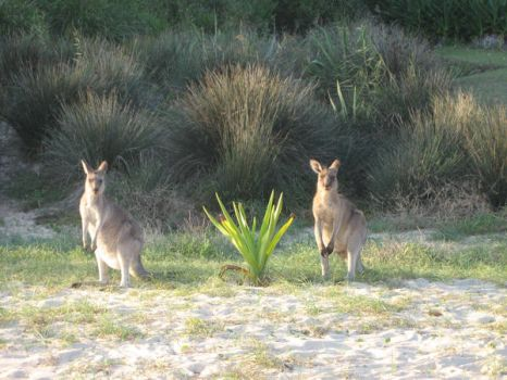 ONE, TWO, KANGAROO - NSW, AU by talespin