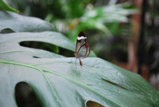 Glasswing Butterfly by Willow421