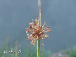 Grass Seed Head by DeaneP