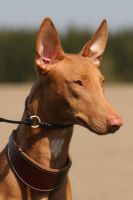 Mr. Pharaoh Hound by SaNNaS