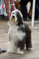 The Bearded Collie by PencilPetPortraits