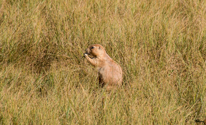 Hungry Prairie Dog by sequential