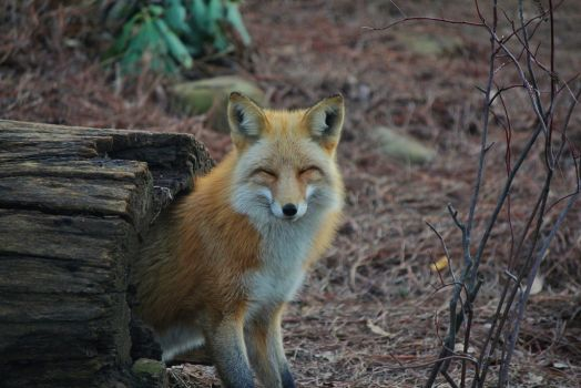 Smiling Fox by GDLMPhotography