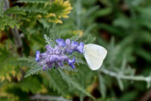 Mustard White Butterfly on Russian Sage by minamiko