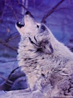 wolf blue howl by Yair-Leibovich