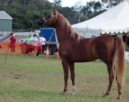 TW Arab flaxon stand side on by Chunga-Stock