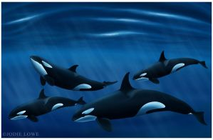 Killer Whales by Oracle88